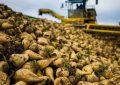 پیشبینی برداشت ۱۰۰ هزار تن چغندر قند در مهاباد