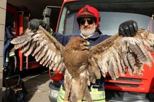 یک بهله عقاب کمیاب در دامن طبیعت رها سازی شد