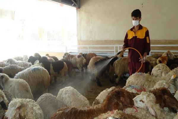 بیش از 20 هزار راس دام در بوکان علیه بیماری تب کنگو سم پاشی شد