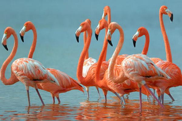 فلامینگوها، پرندگانی اجتماعی هستند