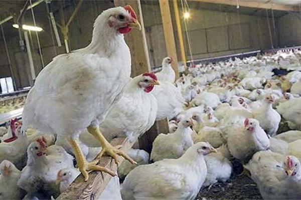 بیش از 700 واحد مرغداری گوشتی در آذربایجان غربی فعالیت دارند
