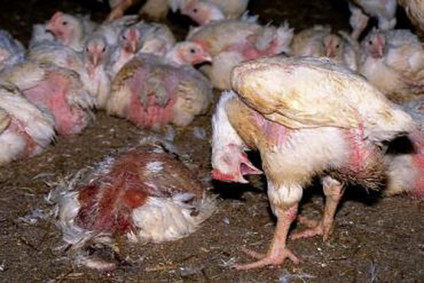 همنوع خواری مرغ ها در یک مرغداری در ارومیه ،بیماری کانی بالیسم است