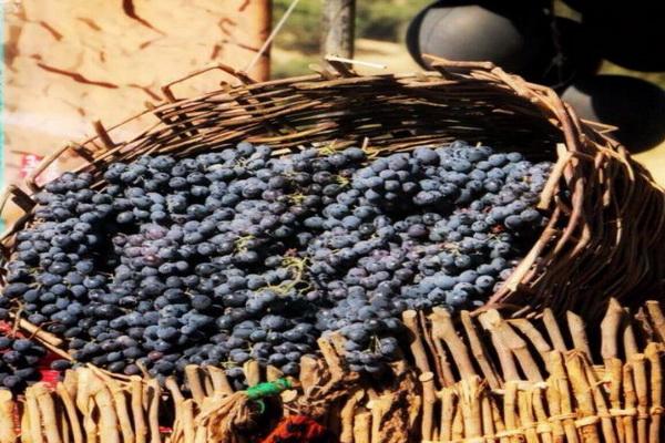 سردشت با ۵ هزار هکتار تاکستان قطب تولید انگور سیاه در استان آذربایجان غربی است