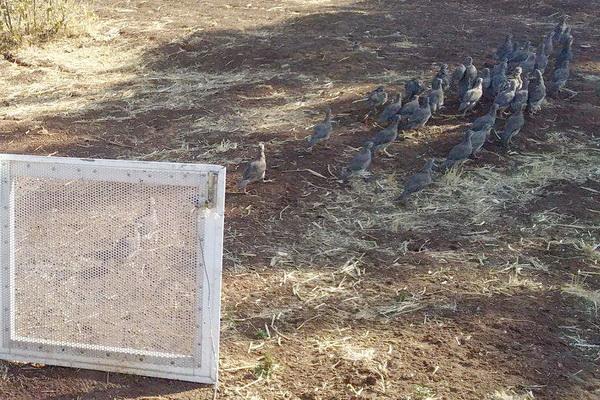 بیش از 40 قطعه کبک در زیستگاه های مریوان رها سازی شد
