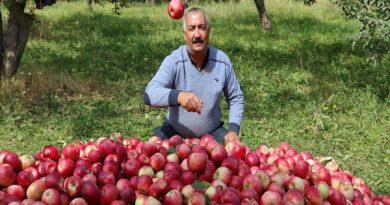 بیش از 50 هزار تن سیب از سطح باغات شهرستان پیرانشهر برداشت شد