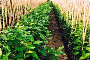 ۱۰۰ هکتار از زمینهای کشاورزی میاندوآب به تولید نهال اختصاص دارد
