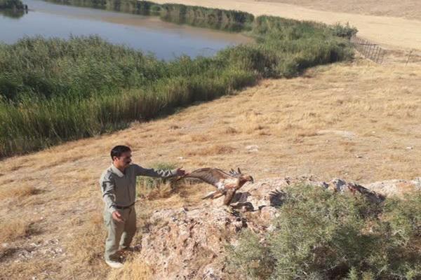 یک بهله سارگپه در ارتفاعات مهاباد رهاسازی شد