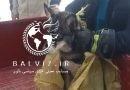 فیلم/ورود بچه گرگ به داخل شهر مهاباد نزدیک تپه باستانی باغ شایگان 