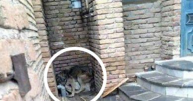 یک قلاده گرگ وارد منزل مسکونی در ارومیه شد