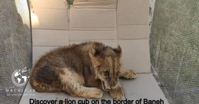 A four-month-old lion cub was discovered in the border town of Baneh
