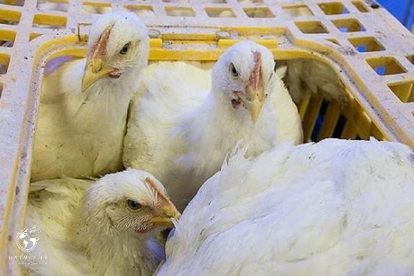 100 مرکز عرضه کننده فروش مرغ زنده در اشنویه جمع آوری می شود