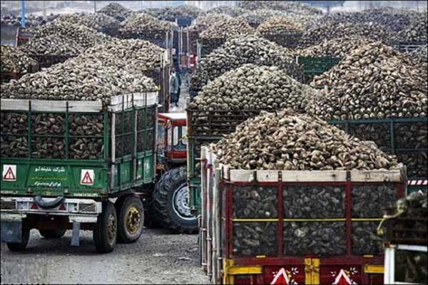 در سال جاری تولید چغندر قند در شهر مرزی پیرانشهر بیش از 30 درصد رشد داشت