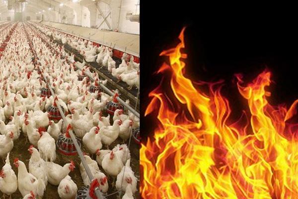 حادثه آتش سوزی در یک مرغداری در مهاباد موجب تلف شدن 6 هزار قطعه مرغ شد