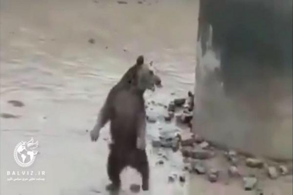 Rescue 3 brown bears from the pool in Biston, Kermanshah