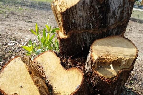 عاملین قطع شبانه درختان در مهاباد؛ شناسایی و دستگیر شدند