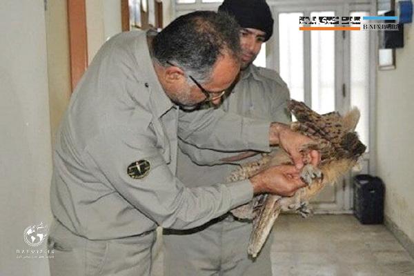 یک قطعه شاه بوف در شاهین دژ حین شکار دچار برق گرفتگی شد