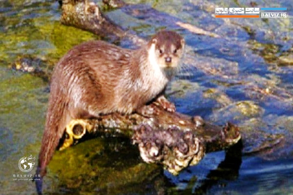 """Seeing """"blue otters"""" in the wildlife sanctuary of Kani Barazan wetland in Mahabad"""