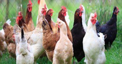 اقدامات پیشگیرانه پایش بیماری آنفلوانزای فوق حاد پرندگان در مهاباد