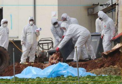 معدوم سازی پرندگان مبتلا به بیماری (HPAI) آنفلوانزای فوق حاد پرندگان در پیرانشهر