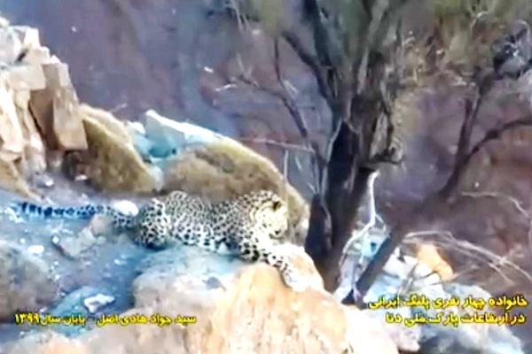 تصویری ناب از چهار قلاده پلنگ ایرانی در پارک ملی دنا