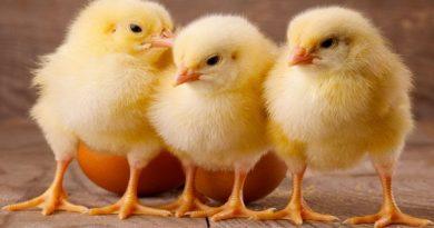 در سال گذشته بیش از 7 میلیون قطعه جوجه ریزی در مرغداری های مهاباد انجام شد