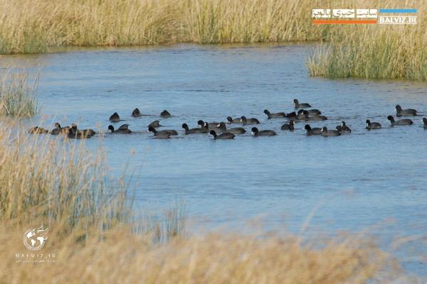 پایش زیستگاه های آبی پرندگان در مهاباد