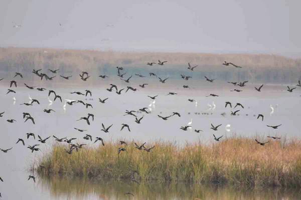 پرندگان مهاجر مهمان تالاب کانی برازان مهاباد
