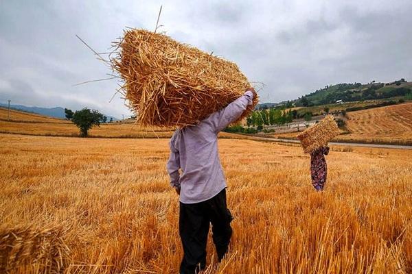 میزان خرید تضمینی گندم در سردشت به بیش از 600 تن رسید