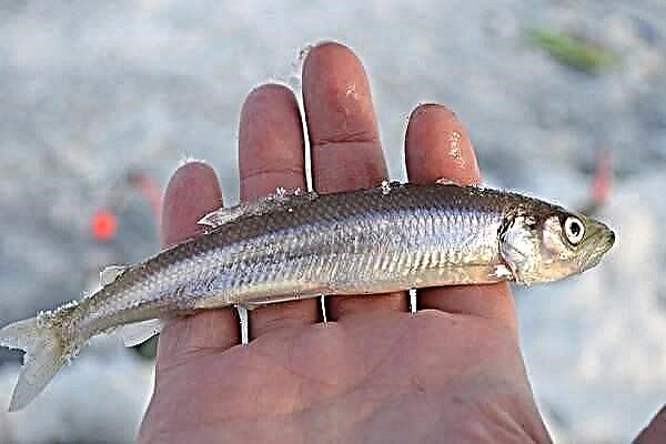 نجات بیش از 5 هزار قطعه ماهی در سردشت