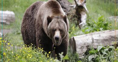 چوپان پیرانشهری بر اثر حمله خرس مصدوم شد