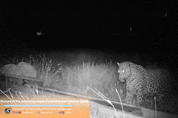 Picture of the only living leopard on Kaboudan Island in Urmia