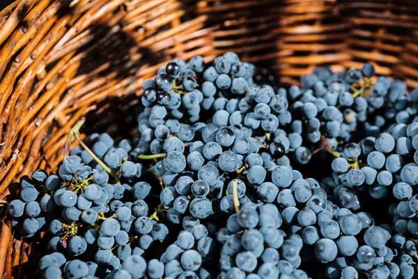 بیش از ۵۰ هزار تن انگور سیاه از تاکستانهای سردشت برداشت شد
