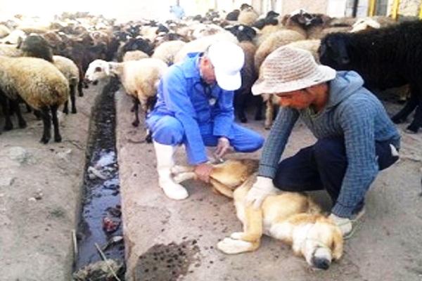 بیش از ۱ هزار قلاده سگ در شهرستان بوکان مایه کوبی شدند