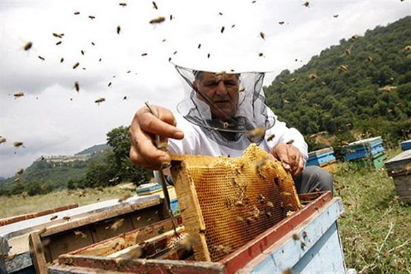 تولید عسل در مهاباد ۵۰ درصد افزایش یافت